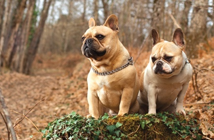 Resultado de imagen para french bulldog in the park